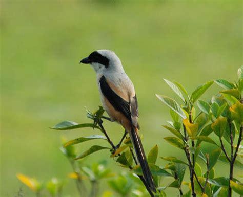 Pakan Burung Lomba Dan Harian Pakan Bird Lomba Dan Harian burung pentet rahasia pentet juara