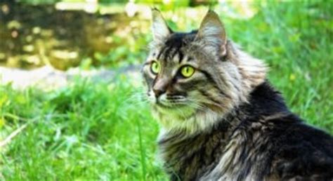 Cat Tembok Outdoor Mix One the mysterious history maine coon
