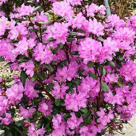 rhododendron pjm rhododendron 3 4 tall by 6 8 wide full shade to part sun the