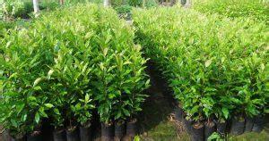 Bibit Pisang Cavendish Di Bali 7 cara menanam cengkeh agar cepat berbuah ilmubudidaya