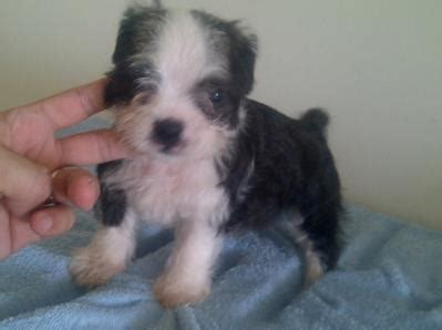 boston terrier and shih tzu boston terrier shih tzu puppy adopted 6 years 1 month boshih boston terrier x