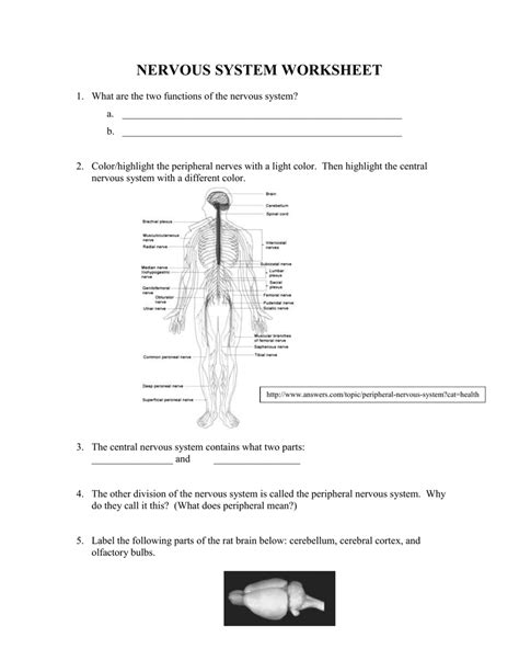 The Nervous System Worksheet by Uncategorized Central Nervous System Worksheet