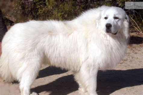 great pyrenees puppy for sale great pyrenees price breeds picture