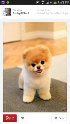 different breeds of pomeranian dogs different types of pomeranians pomeranian expert information breeds picture