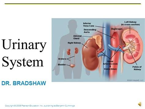powerpoint templates urinary system lecture urinary authorstream