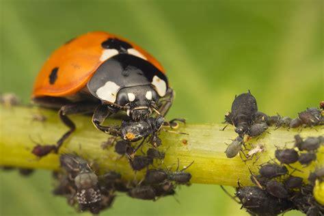 do ants eat aphids matt cole macro photography pest