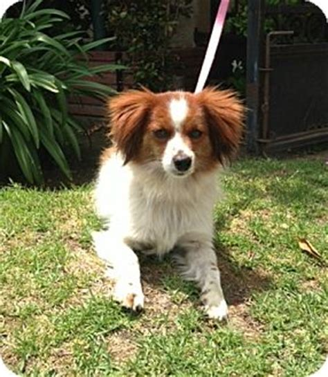 king charles spaniel and pomeranian mella adopted los angeles ca cavalier king charles spaniel pomeranian mix