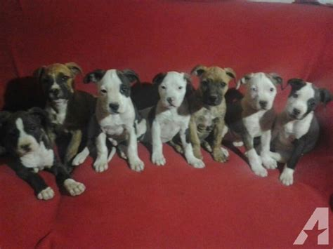 purebred pitbull puppies purebred pitbull puppies 8 weeks for sale in hesperia california classified