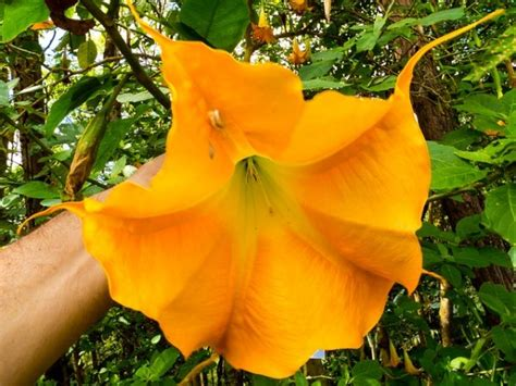 tromboni fiori brugmansia coltivazione