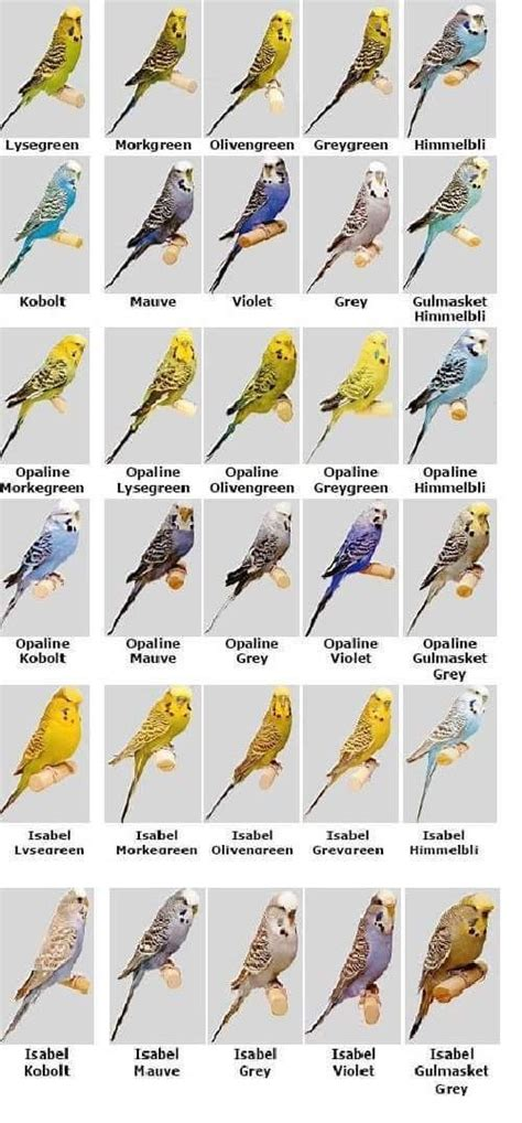 budgie colors image result for budgerigar colour chart birds pet