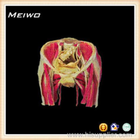 womens pubis for sale female perineal muscle plastinated specimen for sale mwsh