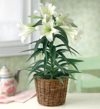 can easter lilies be planted outside 17 best images about easter on gardens