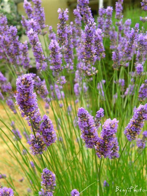 Lavender Flowers plants in nanopics lavender plants