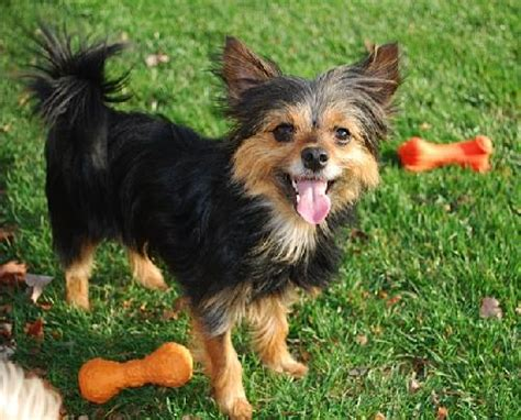 yorkie rescue in maryland lola s web page