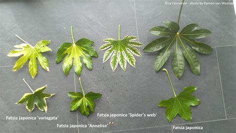Fatsia Japonica Exterieur by Fatsia Japonica Aralia Japonais La Palmeraie Fr