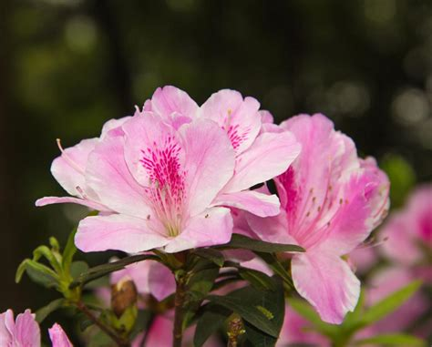 Azalea Shoo azalea indica splendens pink