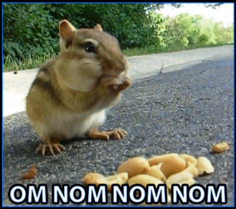 Chipmunk Meme - chipmunk om nom nom reactiongifs