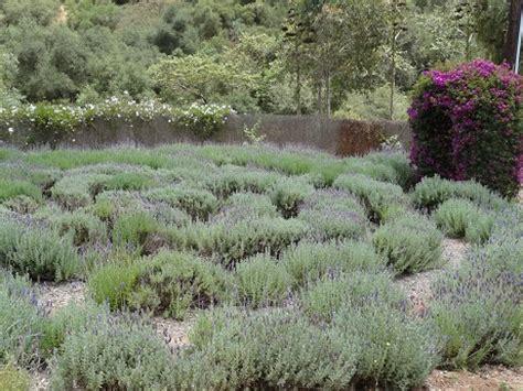 lavender maze lavender is a colorful unique flavor formula diet