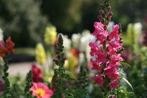 file herb garden spring blooms huntington jpg file snapdragons at huntington library garden jpg