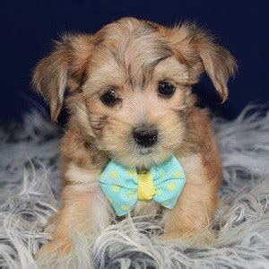morkie puppies for sale in nj morkie puppy for sale boppity puppies for sale in pa va de nj