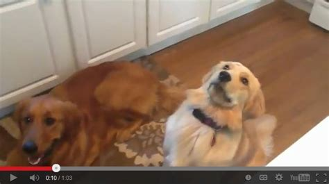 golden retriever fail mixed breed spotlight golden retriever husky mix featured creature