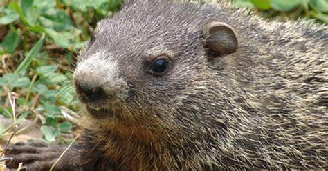 how to kill moles voles groundhogs ehow uk