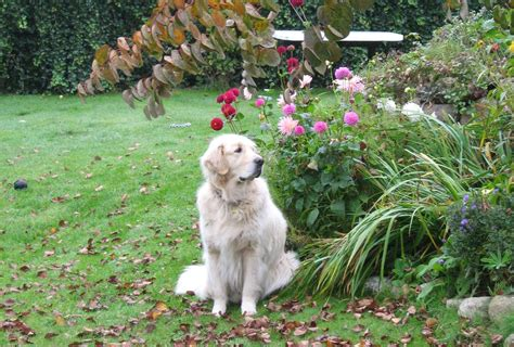 golden retriever 3 years file 4 years golden retriever jpg wikimedia commons