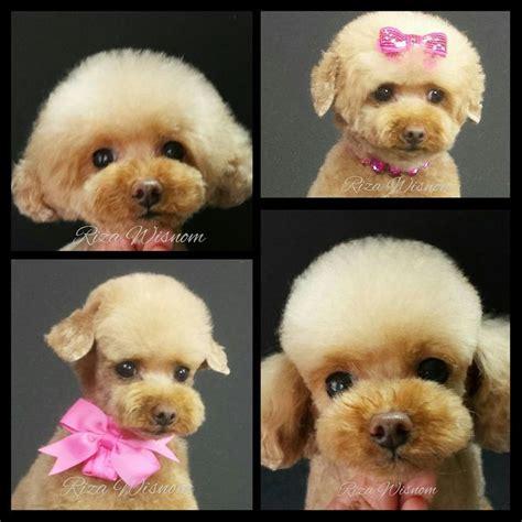 poodle cuts exles styles of poodle cuts grooming standard poodle grooming