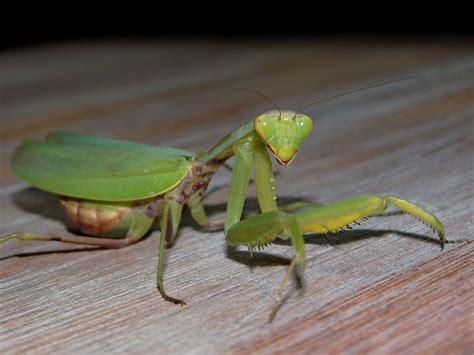 interesting    praying mantises eat  read