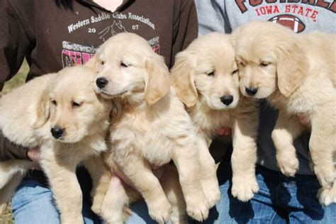 golden retriever breeders in minnesota white golden retriever breeders minnesota photo