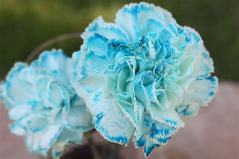 Blue Tipped Flower 17 best images about carnations on carnation
