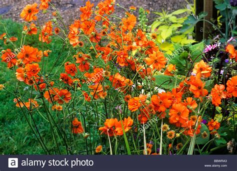 Orange Garden Flowers Geum Prinses Juliana Orange Flower Flowers Garden Plant Plants Stock Photo Royalty Free Image