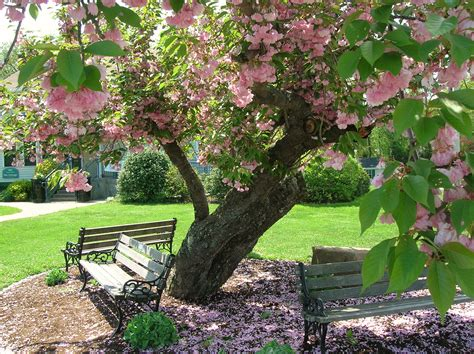 file kwanzan cherry tree with benches elizabeth park west hartford ct may 12 2013 jpg