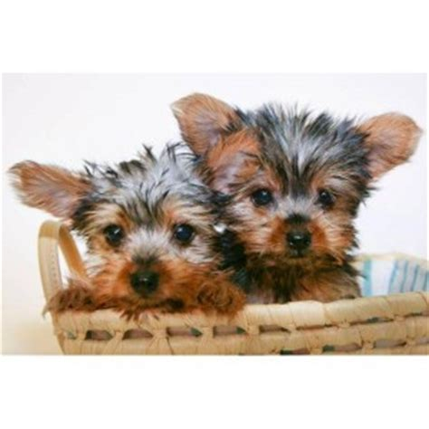 teacup yorkie breeders in sc dogs florence sc free classified ads