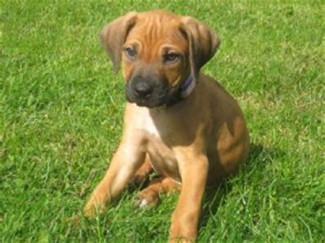 ridgeback puppies for sale rhodesian ridgeback puppies for sale rhodesian ridgeback puppies laurietooker