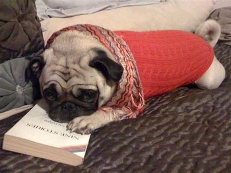 everything pug book 11 pugs who make reading look so
