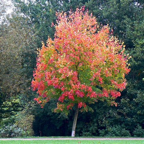 american maple tree uk file maple tree coate water country park swindon geograph org uk 572323 jpg