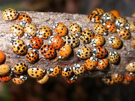 asian ladybugs  invade  home bite   harm