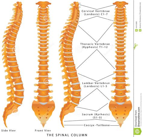 diagram of spine discs the spinal column stock photo image 44415885