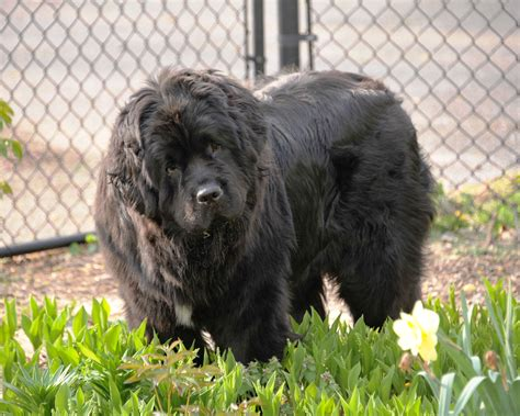 breeder indiana newfoundland breeders indiana breed dogs