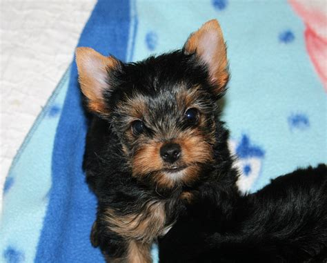 yorkie oregon oregon yorkies puppies
