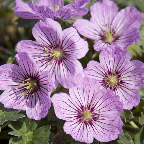hardy geranium cinereum alice cranesbill this variety has some of the largest flowers that