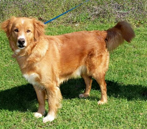 small golden retriever uk 17 best images about i golden retrievers on golden retriever rescue