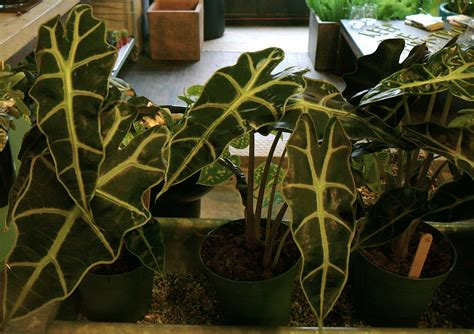 Unusual Houseplants | unusual house plants at the palm room the palm room