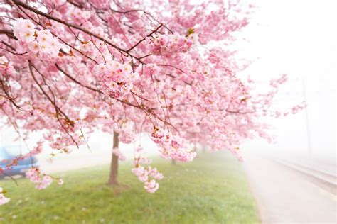 Trees Symbolism by What Are Sakura Wonderopolis