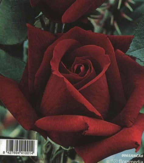 imagenes de rosas terciopelo comprar rosal grandiflora perla negra rojo terciopelo en