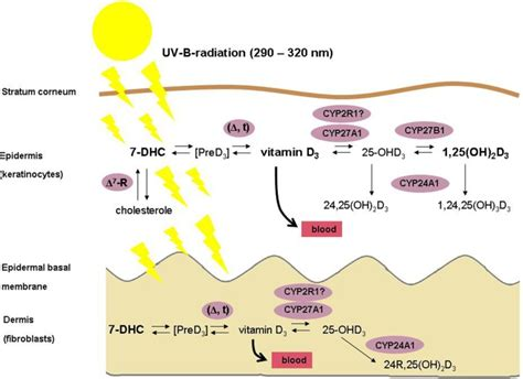 Vitamin Metabolisme schematic illustration of the vitamin d metabolism in
