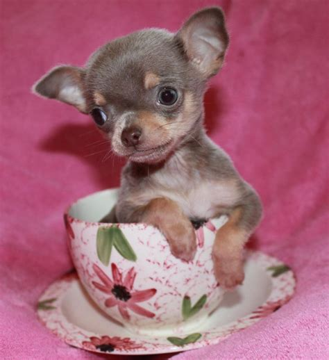 chiwawa puppies for sale lilac chihuahua our chihuahuas chihuahuas lilacs and teacup chihuahua