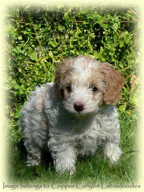 labradoodles puppies for sale qld australian labradoodle breeder puppies for sale