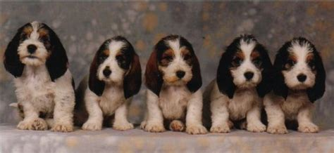 pbgv puppies for sale pin pbgv puppies for sale on